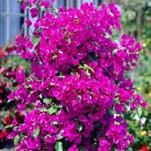 Call for the perfect plants that thrive in your area. Find the ideal rose bushes, privacy trees, flowering shrubs and patio plants! Patio Fruit Trees, Patio Plants, Bougainvillea, Dragon Fruit Cactus, Thuja Green Giant, Hydrangea Shrub, Flower Fence, Myrtle Tree, Avocado Tree
