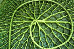 bottom of giant lily leaf