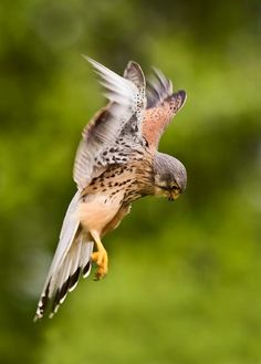 Kestrel about to dive on its prey.