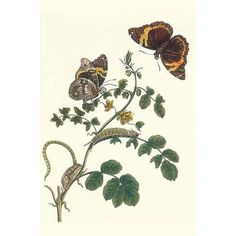 """Buyenlarge 'Coffee with Split-Banded Owlet Butterfly' by Maria Sibylla Merian Graphic Art Size: 36"""" H x 24"""" W"""