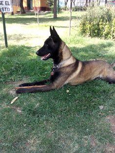 Belgium Malinois, German Shepherds, Dog Breeds, Dutch, Pup, Dog Cat, Women's Fashion, Cats, Belgian Shepherd
