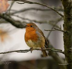 Robin singing in November sunshine Pretty Birds, Beautiful Birds, Animals Beautiful, European Robin, Robin Redbreast, Robin Bird, Wild Creatures, Watercolor Artwork, Little Birds