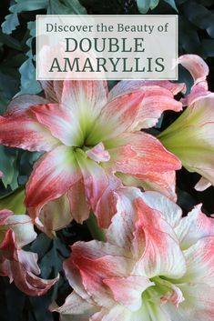 Discover the Beauty of Double Amaryllis - Longfield Gardens Flowers In Hair, Pink Flowers, Beautiful Flowers, Garden Bulbs, Planting Bulbs, Succulents Garden, Garden Plants, Garden Pond, Amaryllis Tattoo