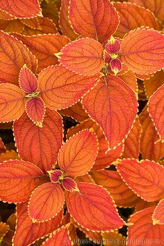 Need to find out what cultivar of coleus this is... beautiful! ETA: I think it's Rustic Orange.