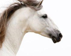 Grauer spanischer Hengst läuft Hampel Pferd von WildHoofbeats