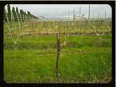 #Prosecco #sprout. Are you ready for #sparkling #wine? #proseccolover #cvzonin #zonin