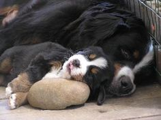<3 Bernese Mountain Dog/Puppy <3
