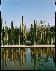 Ethnobotanical Garden in Oaxaca. Awesome architectural use of cactus.Organ pipe cactus (Marginatocereus marginatus), planted here next to the mirror pool and around cochineal-covered nopal cactus, are traditionally used in Mexico as borders, corrals, and fences to keep out foraging livestock or strangers.