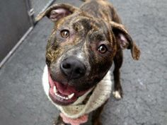 URGENT - Manhattan Center    TIGRESS - A0996954    FEMALE, BR BRINDLE / WHITE, PIT BULL MIX, 2 yrs  STRAY - ONHOLDHERE, HOLD FOR RTO  Reason STRAY   Intake condition NONE Intake Date 04/17/2014, From NY 10466, DueOut Date 04/20/2014  https://www.facebook.com/photo.php?fbid=789651451047736&set=a.617938651552351.1073741868.152876678058553&type=3&permPage=1