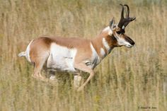 Pronghorn Running   Animals Lover