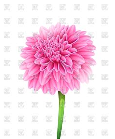 Blooming pink aster flower, 47770, Plants and Animals, download ...