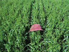 Good crops!