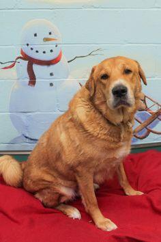 ADOPTED!! Charlie Setter & Shar Pei Mix • Adult • Male • Large Blue Dog Shelter Brockton, MA http://www.petfinder.com/petdetail/27731984