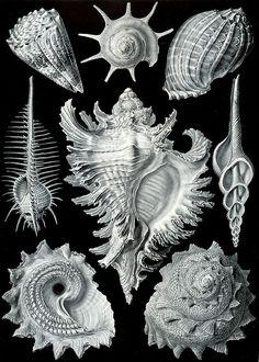 illustration by Ernst Haeckel. julienfoulatier: Vintage illustration by Ernst Haeckel. Ernst Haeckel Art, Art Et Nature, Natural Form Art, Victorian Illustration, Seashell Art, Art Graphique, Stretched Canvas Prints, Oeuvre D'art, Art Forms