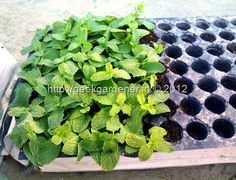 1000 ideas about growing mint on pinterest watering plants how to grow and to grow. Black Bedroom Furniture Sets. Home Design Ideas