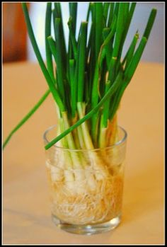 The next time you have green onions, don't throw away the white ends. Simply submerge them in a glass of water and place them in a sunny window. Your onions will begin to grow almost immediately and can be harvested almost indefinitely. We just use kitchen scissors to cut what we need for meals. I periodically empty out the water, rinse the roots off and give them fresh water. They did grow but it was a little more work than I wanted.