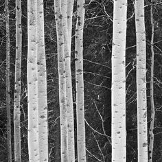 """Apsen Rhythms"" by Ansel Adams"