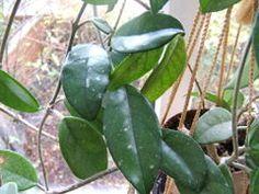Hoya carnosa0.jpg