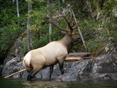 Bull Elk Swimming Coeur d'Alene Lake in Idaho