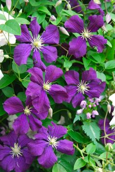 Clematis viticella 'Etoile Violette', now five years old and covering this large rose bush. ~WMG