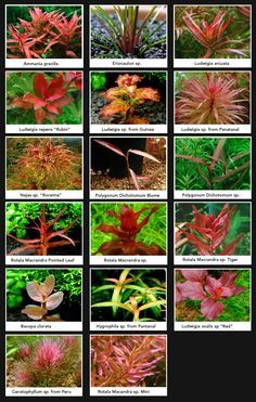Red aquarium plants