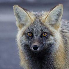 Beautiful cross-melanistic Fox