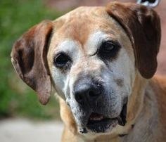 Mia - Labrador Retriever/Boxer mix - 9 yrs old - Dream House Rescue - Norwood, OH. - http://www.dreamhouserescue.org/ - https://www.facebook.com/pages/Dream-House-Rescue/138219186271714 - https://www.petfinder.com/petdetail/27088568/
