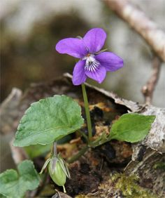 """""""Once in a golden hour, I cast to earth a seed, and up there grew a flower, that others called a weed."""" ~ Alfred Tennyson  Wild violet. One of my faves."""
