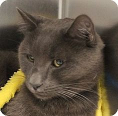 Las Vegas, NV - Domestic Mediumhair. Meet BENITO, a cat for adoption. http://www.adoptapet.com/pet/11779550-las-vegas-nevada-cat