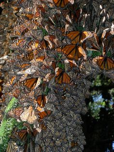 In this undated photo made available by the journal Nature on Tuesday, September 30, 2014, monarch butterflies cluster together as they spend winter in Mexico. The butterflies are famous for migrating from the U.S. and Canada to Mexico for the winter. A study by researcher Marcus Kronforst of the University of Chicago released in the journal Nature on Wednesday, October 1, 2014 suggests the species itself also started out in North America some 2 million years ago, instead of South or Central…