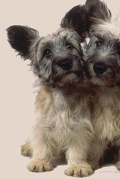 Skye Terrier Puppy