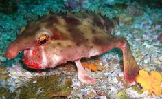 Red-lipped batfish with funky fins.