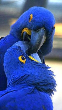 Gorgeous Hyacinth Macaws. These are amazing birds! But they are large in both size and cost! Unfortunately, they are currently endangered. :-(