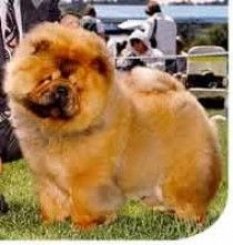 Chow Chow ~ Purebred