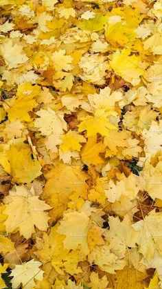 Maple leaves. The gold of autumn. by Wonderful World on @creativemarket