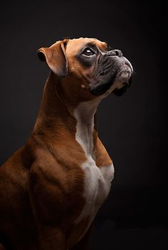 'Inca Portrait' Photographic Print by IncaBoxer - Hunde - Boxer - Black Boxer Dog, Boxer Dog Puppy, Brindle Boxer Puppies, Boxer Dog Breed, Boxer Puppies For Sale, Cute Puppies, Dogs And Puppies, Decoration Photo, Dog Photography