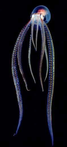 Pelagic Octopus ~ Photograph by Chris Newbert, Minden Pictures / A pelagic, or open-ocean, octopus gives off a neon glow in Hawaii. Most species of octopus have no internal skeleton, unlike other cephalopods.