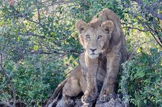 Friday in our sights! Big Cats, Wilderness, Safari, Friday, Camping, Canvas, Animals, Wildlife Nature, Campsite