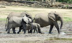 """Forest elephant herd in the famous Dzanga Bai clearing in the Central African Republic's Dzanga-Sangha Special Reserve. In 2013, dozens of forest elephants were slaughtered here for their ivory. [""""The U.S. is commonly cited as second only to China in ivory trafficking.""""]"""