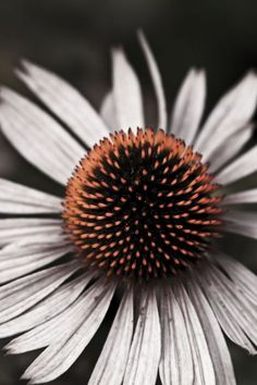 Buy Echinacea, Colour photograph (Giclée) by Harriet Lacey on Artfinder. Discover thousands of other original paintings, prints, sculptures and photography from independent artists.