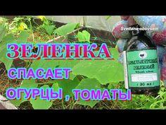 ЗЕЛЕНКА для ОГОРОДА..ЗЕЛЕНКА -СПАСЕТ ТОМАТЫ ,ОГУРЦЫ,КЛУБНИКУ ... - YouTube