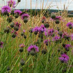 centaurée fleur des champs