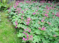 geranium macrorrhizum / tuoksukurjenpolvi