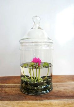 Miss Moss Gifts - Tiny Pink Lotus Water Lily Terrarium in Glass Vase Terrarium Plants, Glass Terrarium, Succulent Terrarium, Garden Plants, House Plants, Terrarium Ideas, Indoor Water Garden, Indoor Plants, Water Gardens