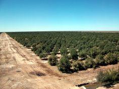 plantaciones-de-olivar-cbh-4