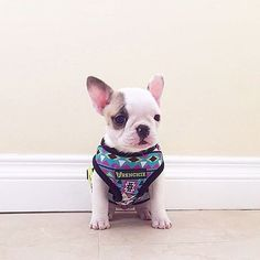 Mochi, the French Bulldog Puppy,THE BEST!!!  @mochi_little_frenchie