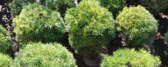 Plantas e a Seca - Plantas ornamentais tolerantes á seca Usando plantas ornamentais para o seu jardim tolerantes á secaou seja,que necessitam de pouca água para sobreviverem, conseguirá que o seu jardim se mantenha bonito, mesmo quando chove pouco e diminuirá o consumo de água considerável para rega.  ... - http://ecoadubo.blog.br/ecoblog/2017/02/16/plantas-e-a-seca/
