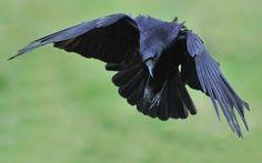 https://flic.kr/p/mkNx2r | Raven Landing