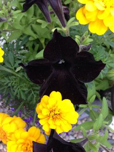 Black petunias really are. Stunning with yellow flowers.