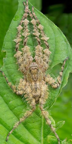 Lichen tarantula